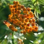 Colorado Berries